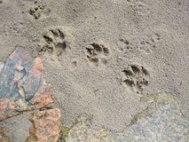 Dog footprints. Dog footsteps on a sandy beach Stock Image