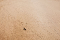 Dog and footprints. Royalty Free Stock Photo