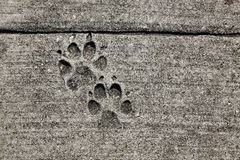 Dog footprints printed in sidewalk concrete Stock Photography