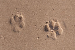 Dog footprints in the sand. Background for design Stock Image