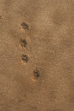 Dog footprints in the sand . Stock Image