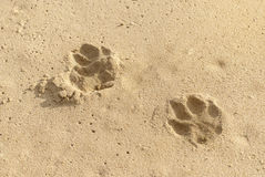 Dog footprints in sand Royalty Free Stock Photo