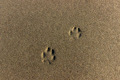 Dog footprints in the sand Stock Image