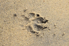 A Dog footprints on sand Stock Image