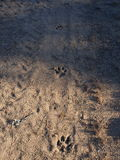 Dog Footprints In Sand On Woodland Road Royalty Free Stock Photos