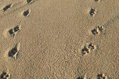 Dog footprints on the sandy beach. Dog paw prints / footprints along a sandy beach in summer stock photo