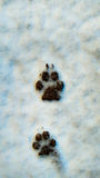 Dog footprints in the snow Stock Photography