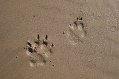Dog footprints on wet sand of beach. Royalty Free Stock Image
