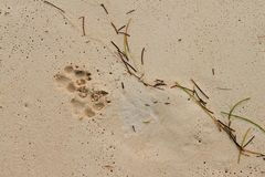 Dog footprints on wet sand Stock Photos