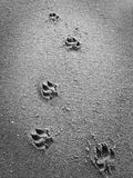 Dog footsteps in sand Royalty Free Stock Photo