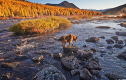 The dog forces the mountain river. Early autumn morning. Kolyma IMG_4669. The dog forces the mountain river. Early autumn morning. The Magadan area. Kolyma Stock Images