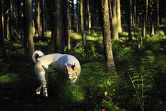 Dog in forest. Royalty Free Stock Photography