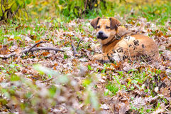 Dog forest autumn Royalty Free Stock Photography