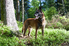 A dog in forest. A Belgian shepherd standing in the forest Royalty Free Stock Images