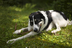 Dog in the forest chewing on a stick. Portrait of a black and white dog in the forest, chewing on a stick Stock Photos