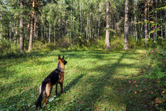 The dog in a forest Royalty Free Stock Image