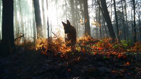 Dog in the forest. German shepherd walking in forest Royalty Free Stock Image