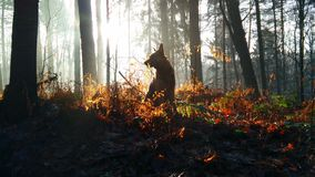 Dog in the forest. German shepherd walking in the morning forest Stock Images