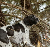 Dog in the forest. Hunting pointer dog enjoying spring in the forest stock photography
