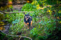 Dog in forest. Little black dog in spring forest stock photo