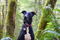 Dog in forest. Dog looking curiously at something in the Oregon forest. Taken in Tillamook forest, Oregon Stock Image