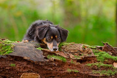 Dog in the forest Royalty Free Stock Images
