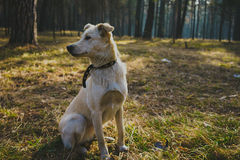 Dog in forest. Portrait of white dog in forest Royalty Free Stock Photography