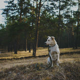 Dog in forest. Portrait of white dog in forest Stock Photography
