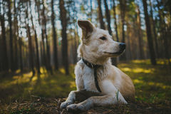 Dog in forest. Portrait of white dog in forest Royalty Free Stock Image