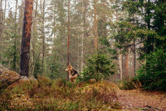 Dog in the forest. Dog shepherd in the summer forest royalty free stock photo