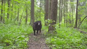 A dog in a forest at summer day. A dog - shepherd bernese in a forest at summer day stock video footage