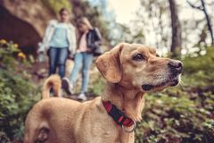 Dog on a forest trail. Small yellow Dog on a forest trail with a people walking in the background Royalty Free Stock Photos