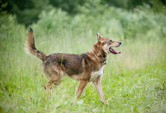 Dog in forest Stock Photography