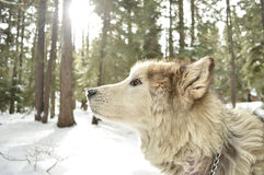 Dog in forest in winter Royalty Free Stock Photography