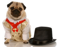 Dog in formal wear Stock Images
