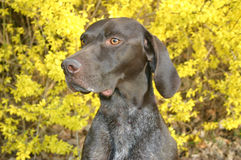 Dog with forsythia. German Shorthair Pointer with Forsythia backdrop royalty free stock images