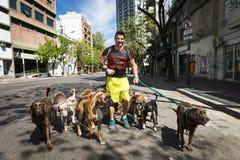 Dog fotgängaren Pasea Peros med en packe av hundkapplöpning i en gata av den San Telmo grannskapen i staden av Buenos Aires, Arge Arkivfoton