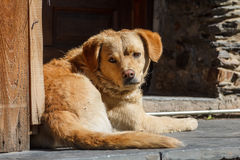 Dog found on the streets of Encamp town Royalty Free Stock Photography