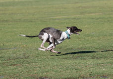 Dog with four paws off the grass running Royalty Free Stock Image
