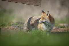 A dog fox looking back through a fence. A dog fox in the English countryside Royalty Free Stock Photos