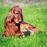 Dog and fox Stock Images