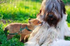 Dog and fox Stock Image