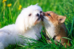 Dog and fox Stock Photography