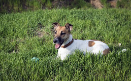 The dog fox terrier playing with a ball on a green glade Stock Photo