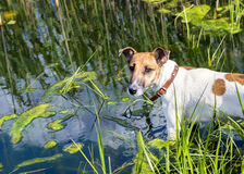 Dog fox terrier in the river on the hunt Royalty Free Stock Photo