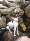 Dog fox terrier on the sea rocks Royalty Free Stock Photography