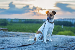 Dog fox terrier on a sunset background Stock Photography