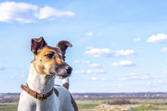 Dog fox terrier for a walk on a background of blue sky Stock Images