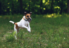 Dog fox terrier for a walk, on the move Royalty Free Stock Images