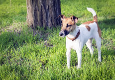 Dog fox terrier on walk in the spring Royalty Free Stock Image
